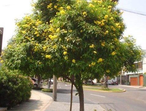 huaranguya - flores invierno