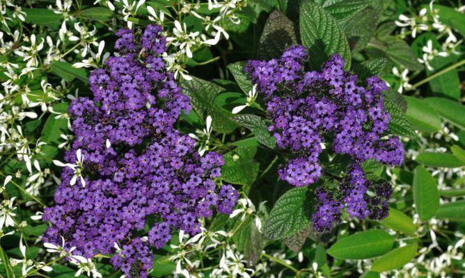 heliotropium - flores invierno