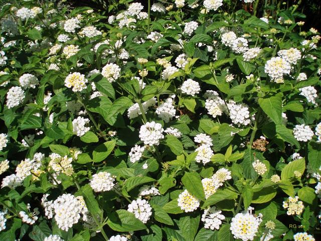 Lantana blanca - flores invierno