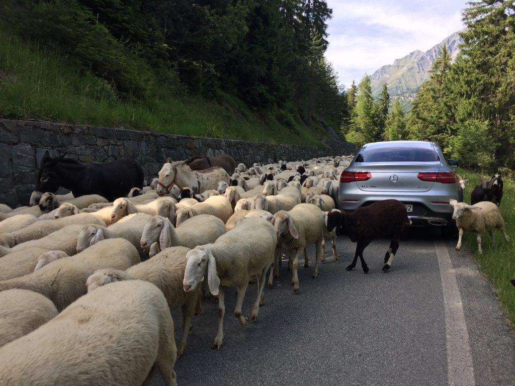 En la ruta, tuvimos gratas sorpresas como cruzarnos con cientos de ovejas.