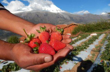 Fresas solidarias Mision Huascaran 1
